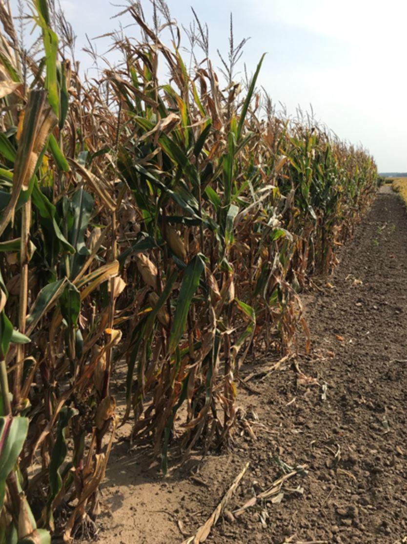 Organics Update organic corn plots