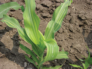The andersons plant nutrient group for Soil zinc deficiency